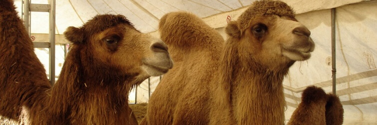 Kamelen circus