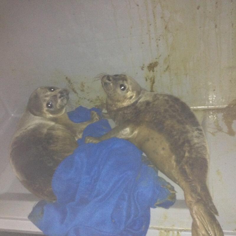 Illegale zeehondenopvang