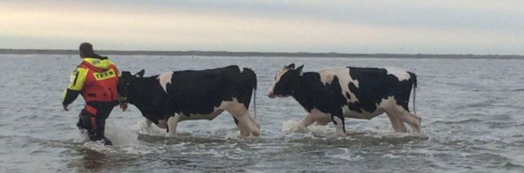 Koeien KNRM